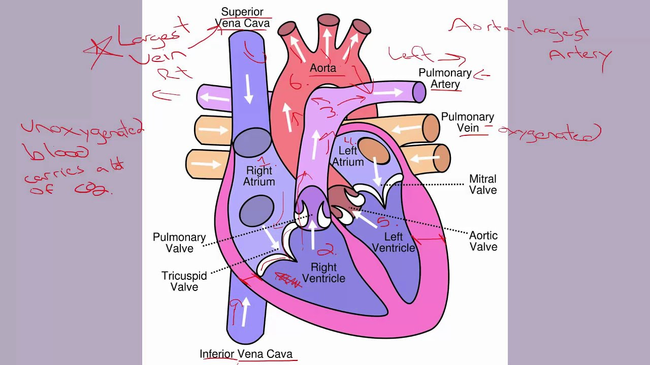 6 1 Human Heart Parts - YouTube