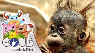 Смешные видео про животных #1   COUB   Приколы с животными