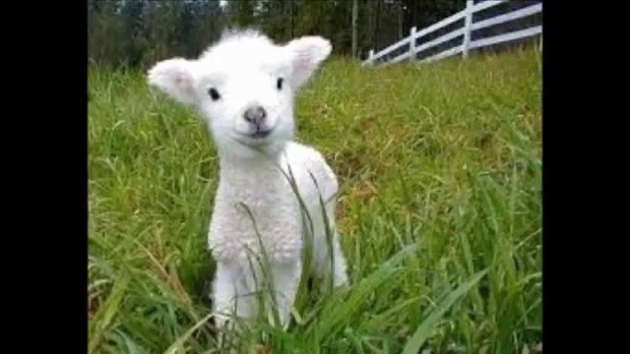 Image result for A GENTLE LAMB