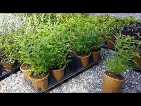 Best Herbs - Lemon Verbena