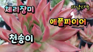 #천송이#체리장미#애플파이어#꽃나래다육식물010-281…