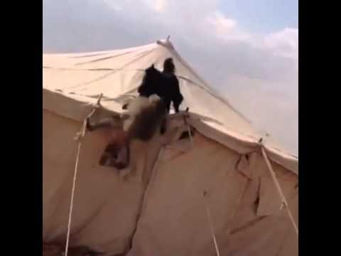 Dog vs monkey                     Black German Shepard vs hamadryas baboon          قرد vs كلب