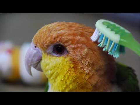 Brushing a White Bellied Caique シロハラインコのブラッシング