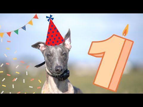 Freddie The Whippet on his First Birthday!