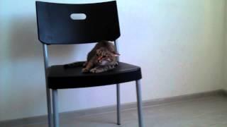 """Выполнение трюка """"Фу"""" - дрессировка кошек"""