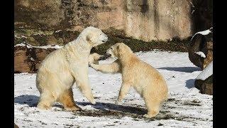 Breaking: Polar Bears attacking Humans! Radiation Poisoning? 300,000 cattle die in Australia flood