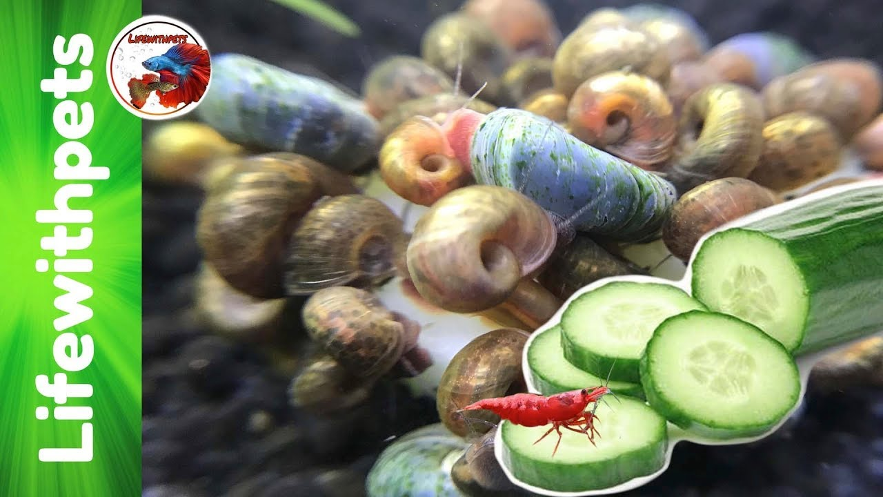 How to feed Cucumber to Fish, Snails and Shrimp