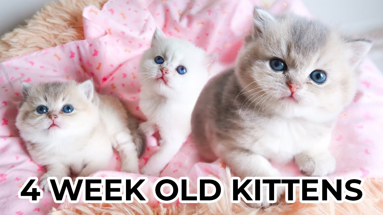 Watch Baby Kitten Grow 0 4 Weeks Old Scottish Straight Longhair Black Golden Shaded Female Kitten Youtube
