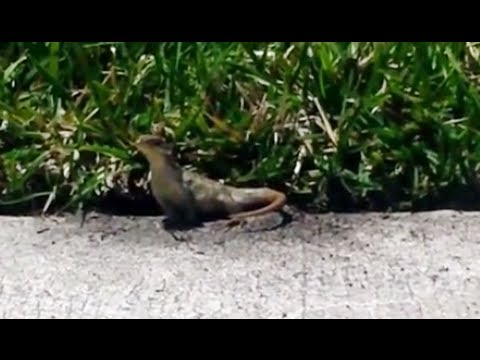 Florida curly tailed lizard digging in my yard - YouTube