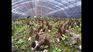 morel mushroom , morchella world wholesaler
