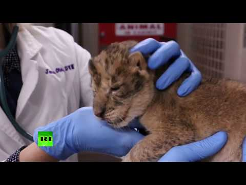 3 African lion cubs born in Iowa zoo as their population declines in the wild