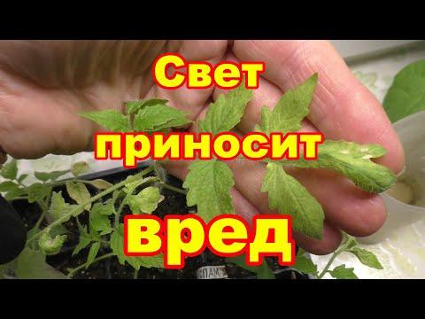 Желтеет лист у маленькой рассады томатов,виноват свет | томатов | рассады | желтеет | листья | желтые | лист | у