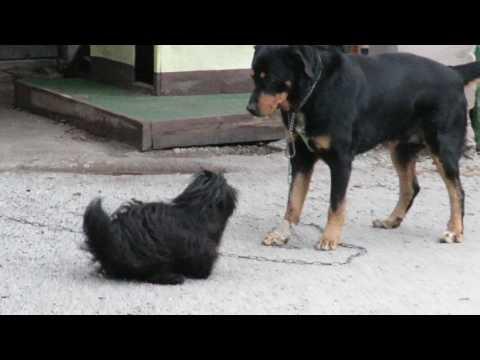Lasa Apso vs Rottweiler