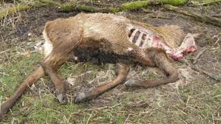 Zombie Deer Disease Alert!