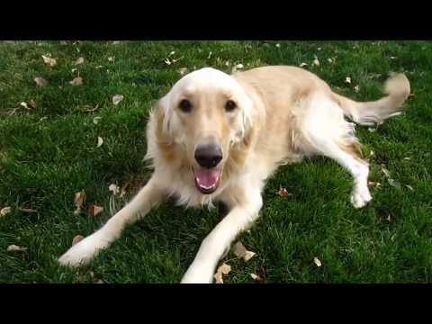 Dog Sound