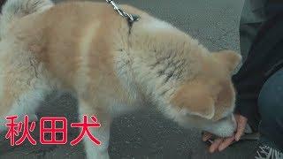 秋田犬の子犬 赤犬 です。 生後2か月なそうです かわいいですね ザキト...