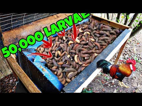 50,000 Black Soldier Fly Larvae And Feeding Them To Chickens (DISGUSTING)