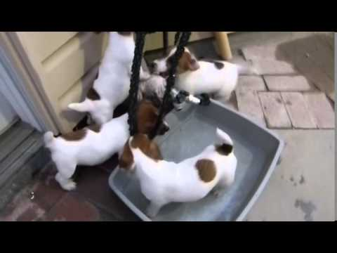 Jack Russell Puppies August 2015