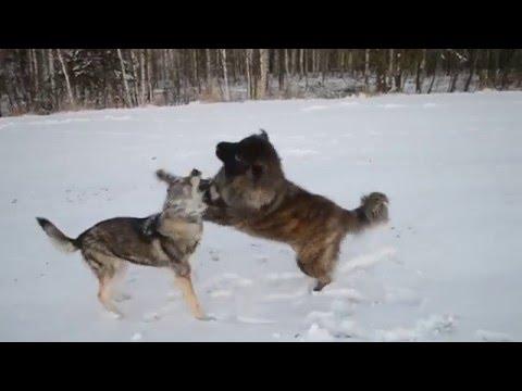 Czechoslovakian Wolf dog vs caucasian shepard