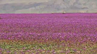 В пустыне Атакаме расцвели тысячи цветов (новости)