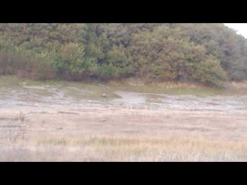 Silver Phase Red fox Sighting on San Juan Island