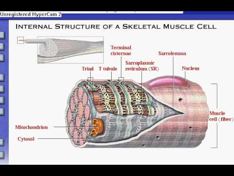 Anatomy Physiology Review Of Skeletal Muscle Tissue Youtube