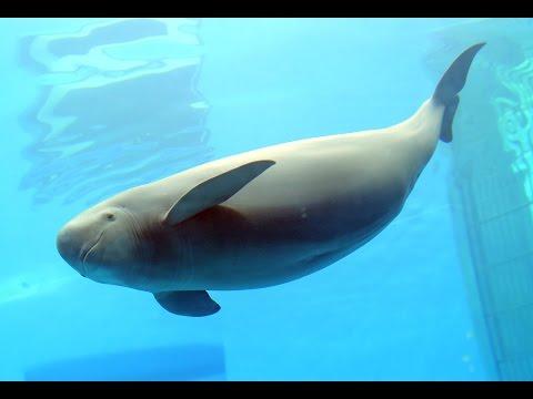 "Cute finless porpoises ""dance"" at C China dolphinarium"