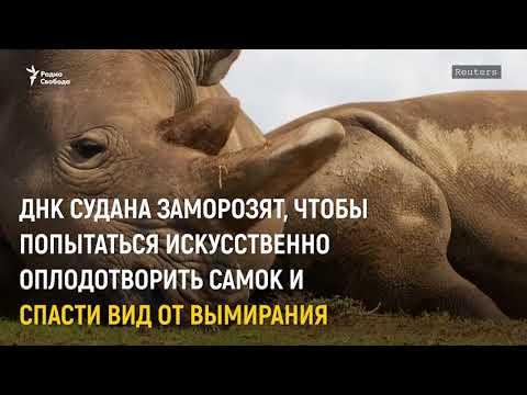 Умер последний самец белого носорога