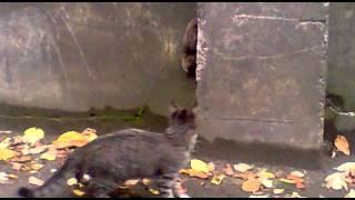 Кошка vs Крысы