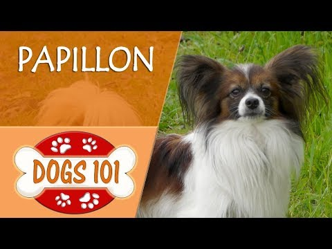 Dogs 101 - PAPILLON - Top Dog Facts About the PAPILLON