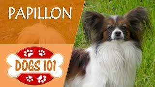 Dogs 101  PAPILLON  Top Dog Facts About the PAPILLON