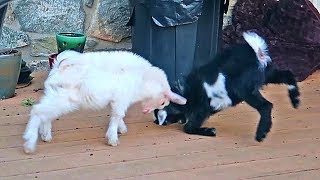 Baby Goat Fail - Try Not To Laugh Impossible!!!