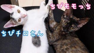 【祝3歳】甘えんぼな子猫のチロモモ集めました…!