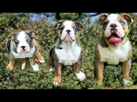 OLDE ENGLISH BULLDOG GROWING UP FROM 7 WEEKS TO 4 MONTHS 🐶