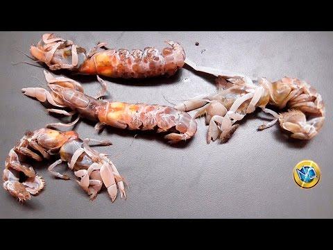 MIRA Cómo Encarnar la MARUCHA en el ANZUELO, un Cebo de PESCA Irresistible 【Ghost Shrimp】