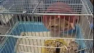 通心粉老鼠搞笑影片 影片由蟲之森甲蟲專賣店提供