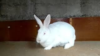 Мастит у крольчихи!!! жуткое зрелище :-(