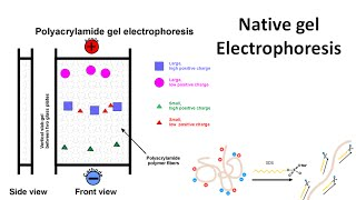 Native gel electrophoresis
