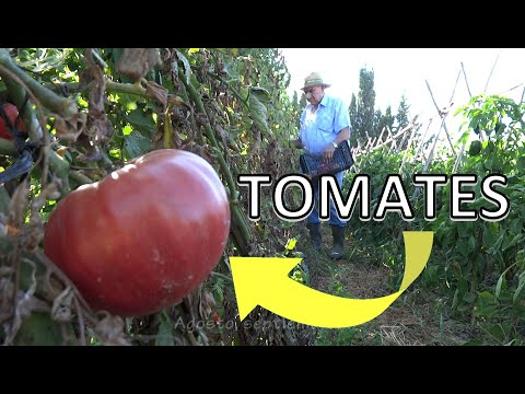 El huerto de Isidro: 02. Tomates