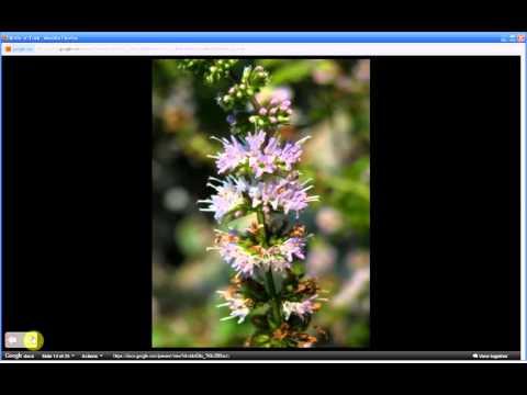 Mentha spicata   Spearmint (Pt 1 of 2)