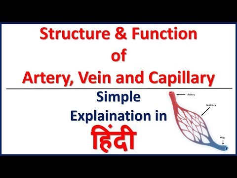 Blood Vessel-Structure and Function. Artery, Vein and capillary in Hindi | Bhushan Science