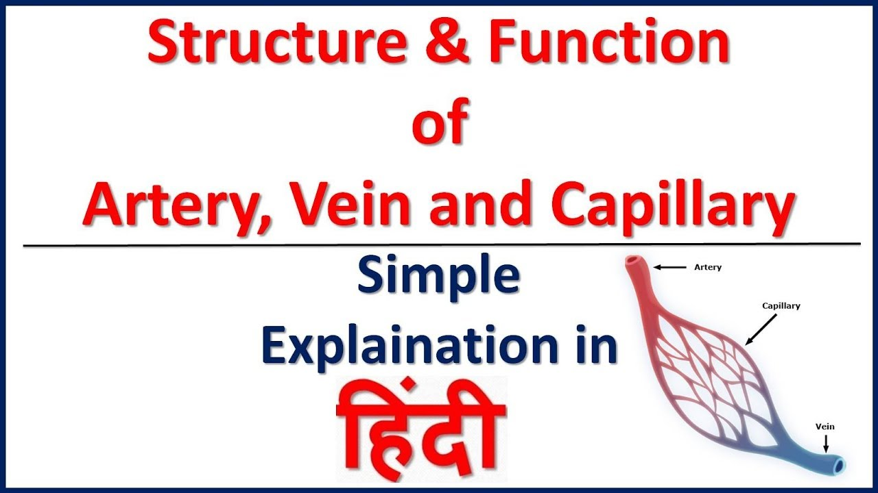 Blood Vessel Structure And Function Artery Vein And Capillary In