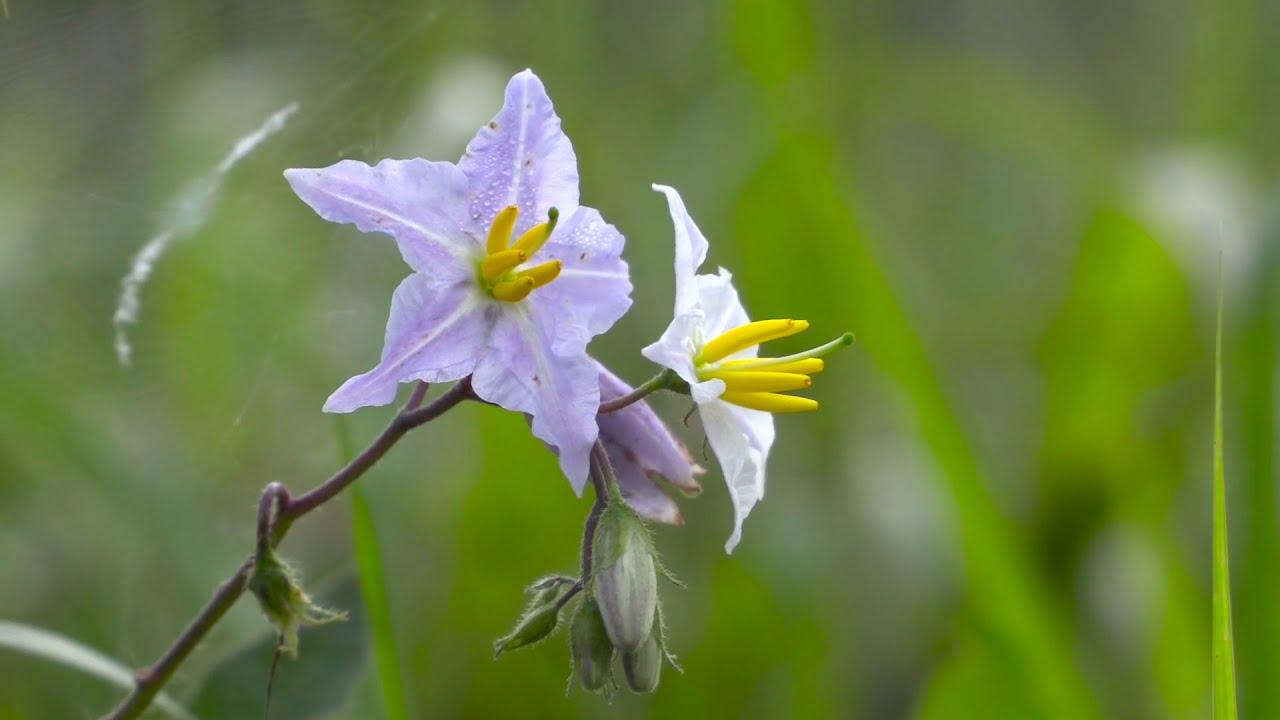 HD무료영상소스 - 도깨비가지꽃,야생화,