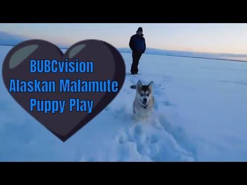 Alaskan Malamute Puppy Early Evening Walk on the Frozen Lake