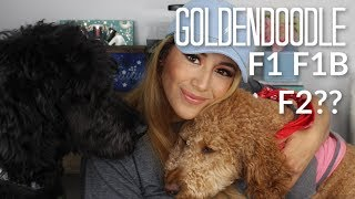 Difference between  A F1, F1B & F2 Goldendoodle