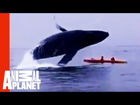 In The Splash Zone: Kayakers Get Way Too Close To A Humpback Whale!   Weird, True & Freaky