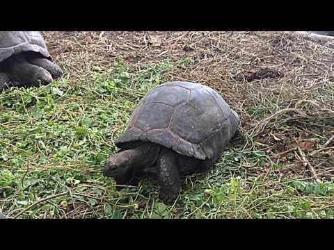 The Seychelles giant tortoise - Anse Lazio