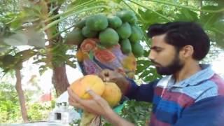 Grow Own Papaya Tree / Harvest Papaya Fruits / Tips & tricks // Mammal Bonsai