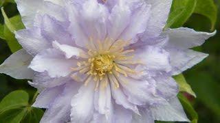 видео Клематис: посадка, выращивание, уход. Правила выращивания клематиса. Узнайте!