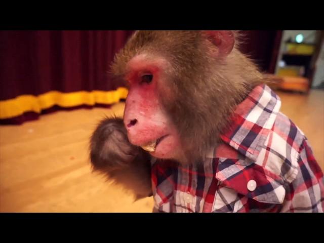 【かじる?舐める?】チュッパチャプスを食べるニホンザル。